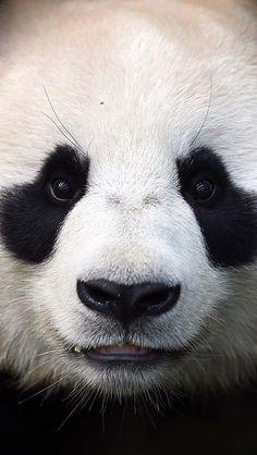 Cute panda face #animal