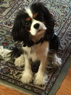 All About Playfull Cavalier King Charles Spaniel PersonalityYou can find Cavalier king charles and more on our website. King Charles Puppy, Cavalier King Charles Dog, King Charles Spaniel, Cavalier King Spaniel, Cute Dogs And Puppies, Puppies Puppies, Cutest Dogs, Doggies, Cute Dog Pictures