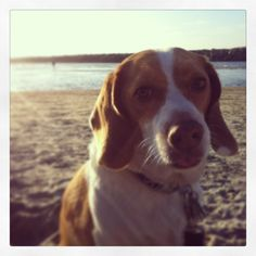 Max the Lemon Beagle sunset on the Ocean Beach Dog Beach #lemonbeagle #Oceanbeach