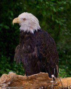 Love Bald Eagles