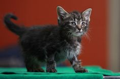 Humane Society seeks public's help in justice for kittens