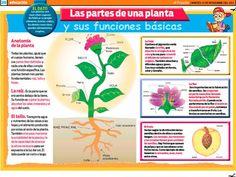 La planta y sus funciones Parts Of A Plant, Sistema Solar, Classroom, Teaching, Fruit, School, Mockup, Google, Children