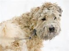 wheaten terriers in snow - Bing Images