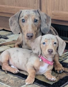 "Determine additional info on ""dachshund pups"". Check out our internet site. Dachshund Breed, Dapple Dachshund, Dachshund Love, Daschund, Labradoodle Dog, Dachshund Clothes, Samoyed Dog, Dachshund Gifts, Weenie Dogs"