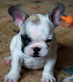 'Hugo', the French Bulldog Puppy, finally makes his first Pintrest appearance.