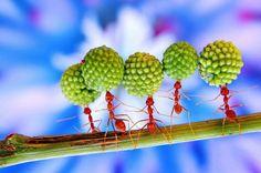 Dans le monde des fourmis, aucune place n'est laissée à l'improvisation. Tout est réglé comme du papier à musique. Ainsi, ces ouvrières qui transportent des graines de mimosas dix fois plus lourdes qu'elles n'en tirent aucune fierté. Et ne reçoivent aucune gratification de la part des autres membres de la fourmilière. C'est ainsi. Entant qu'ouvrières, elles doivent accomplir chaque jour des exploits pour permettre à la communauté de survivre.