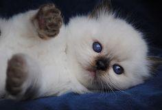 Siamese Cats Sealpoint Blue-Gem Ragdoll photo Gallery - Photos of Ragdoll Cats and kittens Animals And Pets, Baby Animals, Cute Animals, Cute Cats And Kittens, Kittens Cutest, White Kittens, Pretty Cats, Beautiful Cats, Beautiful Babies