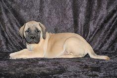 AKC Mastiff Puppies For Sale Now arkansas, el dorado township. We have a excellent Mastiff puppies for sale. Bullmastiff Puppies For Sale, Bull Mastiff Puppies, Pitbull Terrier, White Labrador Puppy, Labrador Puppies For Sale, Puppy Breeds, Pet Puppy, Labrador Retriever, Chocolate