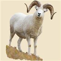 Standing Dall Sheep Indoor Wall Graphic: Standing Dall Sheep Indoor Wall Graphic