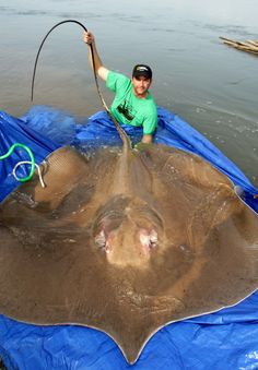 The giant freshwater stingray (Himantura polylepis) is one of the largest freshwater fish in the world, Hogan said.  No one is sure how many giant stingrays are left, which habitats they prefer, or even if they ever venture into the ocean, where their more commonly known relatives dwell.  These ancient fish, little changed over many millions of years, can reach 16.5 feet (5 meters) long and weigh up to 1,320 pounds (600 kilograms). They are brown to gray in color, wide and flat in form, and…