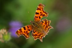 Comma Butterfly (Polygonia c-album). Westonbirt Arboretum, Gloucestershire, England -   Flickr - Photo Sharing!