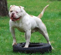 strashno-amerikanskii-buldog American Bulldog Scott, American Bulldogs, Dog Emoji, Dog Comics, Dog Suit, Bully Dog, Dog Games, French Bulldog Puppies, Working Dogs