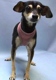 SUPER URGENT Brooklyn Center LULU – A1045346  FEMALE, TRICOLOR, CHIHUAHUA SH MIX, 8 yrs OWNER SUR – EVALUATE, NO HOLD Reason PERS PROB Intake condition UNSPECIFIE Intake Date 07/25/2015 http://nycdogs.urgentpodr.org/lulu-a1045346/
