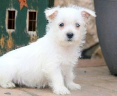 Get A New Puppy Today! View our ADORABLE Newborn Puppies Poodle Puppies For Sale, Westie Puppies, Westies, West Highland Terrier Puppy, Highlands Terrier, Newborn Puppies, West Highland White, White Terrier, New Puppy