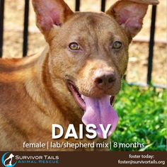 """ADOPTED! -- Here's Daisy! This gorgeous puppy hails from Texas. She is kid and dog approved and would be wonderful addition to a home with other dogs or with children. A word to describe this girl would be """"PERFECT"""" -- she has the best attitude even though she was born in an abandoned nasty home. Foster this beautiful dog today and show her all the love she deserves! Email us for more info! #animalrescue"""