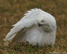 A soggy snowy owl - photo taken by Mark Tremblett February, 2013 near Goderich ON