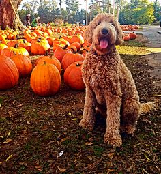 Happy Fall y'all.  Indy the Goldendoodle.  Therapy dog in training.