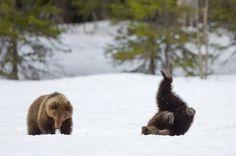"""Karhun pennut ©Ilkka Niskanen: """"Kevät eteni hitaasti, mutta varmasti. Huhtikuun loppupuolella Suomussalmella oli vielä runsaasti lunta. Keväthanki kantoi hyvin ja karhut lähtivät liikkeelle talvipesistään. Vielä emonsa mukana kulkeneet edellisen vuoden karhun pennut ottivat ilon irti vapaudestaan ja puhtaasta lumesta."""""""