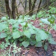 Nettles contains formic acid, galacturonic acid, vitamin C, histamine, 5-hydroxytryptamine, choline and acetylcholine, vitamins A and D, iron, sodium, potassium, phosphorus, calcium (29 times more than spinach), magnesium, silica, trace minerals and protein (more than beans).  A super food.