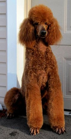 Standard Poodle, Red, Puppy Cut