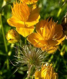 Trollius chin. 'Golden Queen' Globeflower