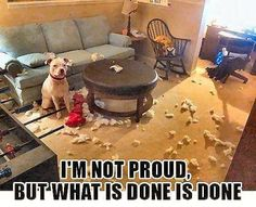 """""""I'm not proud... but what is done is done."""" ~ Dog Shaming shame - Pit Bull"""