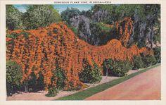 Gorgeous Flame Vine Florida  Vintage Linen by postcardsofthepast