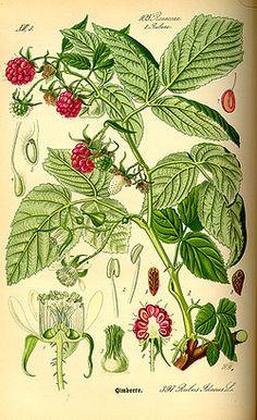 Vadelma (Rubus idaeus)