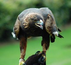 L'Aquila Reale (Aquila Chrysaetos) #aquila