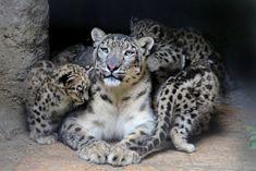 Big Cat Spotlight: The Snow Leopard