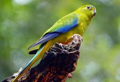 Orange-Bellied Parrot Photo by Alan K W Chew — National Geographic Your Shot