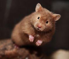 Brown Eared Sable lh hamster pup (bbeeU_ - ll) 4,5 weeks