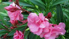 Illatos balkonnövények kezdőknek is Flower Drawing Images, Flower Images, Flower Aesthetic, Aesthetic Images, Visual Memory, Garden Park, Clay Ornaments, Dress Picture, Flower Wallpaper