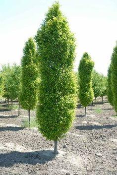 Hornbeam Columnar Bing Images Trees Zone 4 Perennials Backyard Privacy