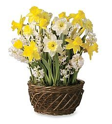 Celebrate The Beginning Of The New Year With A Spectacular Floral Display.  Our Fragrant And ... Yellow And White Bulb Garden Gift ...