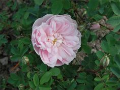 Peter D. A. Boyd's article on 'Scots Roses - past and present'