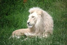 White Lion Facts