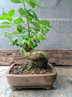 """Premna microphylla or the vaunted """"musk maple"""" from Japan. This article is from the incredibly talented Adam Lavigne"""