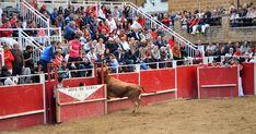 Santacara: Vacas Merino - Fiestas de Santa Eufemia Año 2016 (... Wrestling, Animals, Saints, Cows, September, Fiestas, Lucha Libre, Animales, Animaux