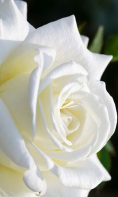 beauty of white roses