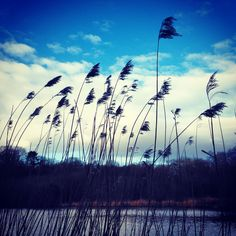 Windswept reeds in the winter breeze. They dance and jig in the setting sun, with flowing hair and waving bodies waiting for the night to come. #reeds #sunset #dusk #silhouette #clouds #sky #beautiful #bucolic #pastoral #love #romance #sky #scene #landscape #view #silhouette #symmetry #bluesky #lake #nature #wild #dance #play