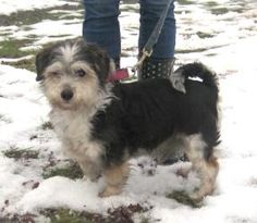 ADOPTED!!! Pippin is an #adoptable Shih Tzu Dog in #Kittanning #PENNSYLVANIA - Pippin is a male Shih Tzu / Jack Russell Terrier / Schnauzer mix seized from a home where the person had alot of animals. Really en...