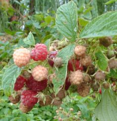 Raspberry Growing Advice