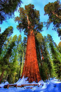 Les arbres les plus beaux du Monde - Le Général Sherman, sequoia. California.