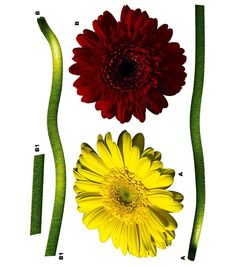 Komar Gerbera Wall Decal, 5 Piece Set