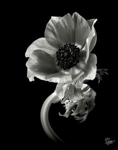 Anemone in Black and White