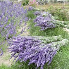 fresh lavender bouquets....I can smell them