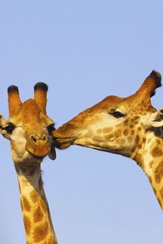 6 July 2020 is International Kissing Day or World Kiss Day. The idea behind the International Kissing Day is that many people may have forgotten . African Animals, African Safari, World Kiss Day, International Kissing Day, South Africa Tours, Cute Calendar, Romance, Kruger National Park, Animal Species