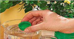 ZAHĂR Probabil cel mai popular îngrășământ natural utilizat pentru fertilizarea plantelor de apartament este zahărul. Acesta poate fi turnat direct pe pământul din ghiveci, sau diluat în apă în proporție de o linguriță de zahăr la un pahar de apă. Cu această soluție se fertilizează o dată pe săptămână. Acest îngrășământ se folosește de 2-3, deoarece fertilizarea deasă poate avea un impact negativ asupra plantelor. O altă variantă de fertilizare este să cumpărați din farmacie glucoză…
