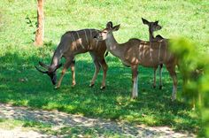 Antelope and Deer Together Pictures | ... the common habit of the Kudzu Antelope. They stay together in a group